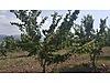 Balıkesir gönen muratlar köyü 75.000m2 ceviz bahçesi,meyvalık,ev - Satılık Arsa İlanları sahibinden.com'da
