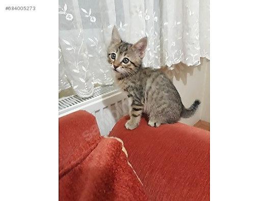 Kedi Tekir Ankara Eryaman ücretsiz Yavru Kedi Sahiplendirme