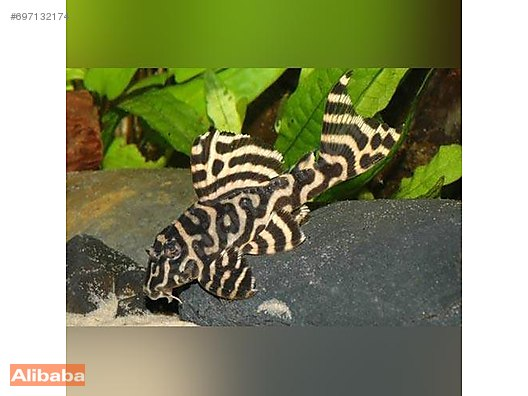 Catfish & Pleco / Other / l333 - L 333 VATOZ (KİNG TİGER