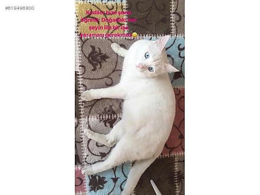 Kedi Ankara Tuvalet Eğitimli Cins Kedi ücretsiz Sahiplendirme